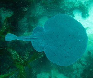Shocking migratory changes bring electric rays to Canada's Pacific
